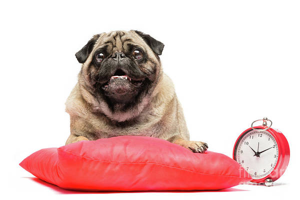 Dog Watch Photograph - Pug Dog Laying On A Red Pillow With A Clock. by Michal Bednarek