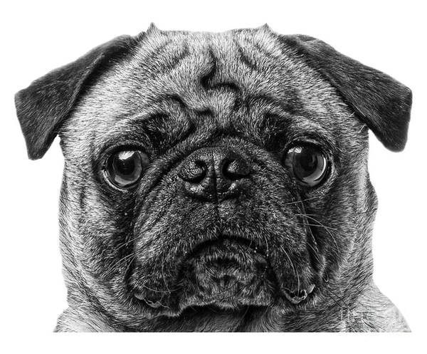 Pug Photograph - Pug T-shirt by Edward Fielding