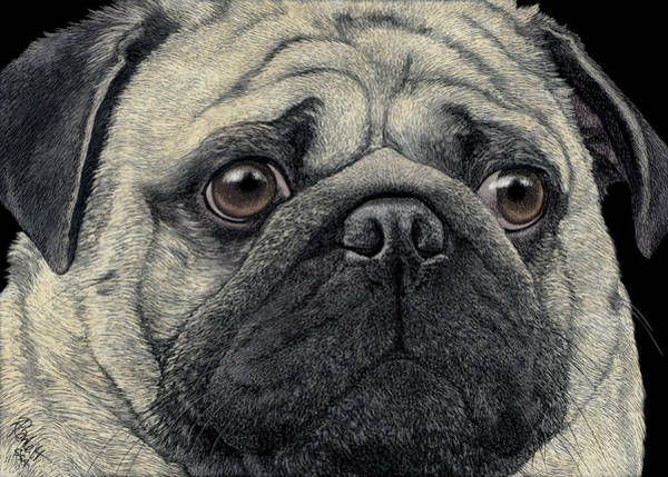 Drawing - Pugshot by Ann Ranlett