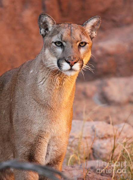 Wall Art - Photograph - Puma At Sunset by Max Allen