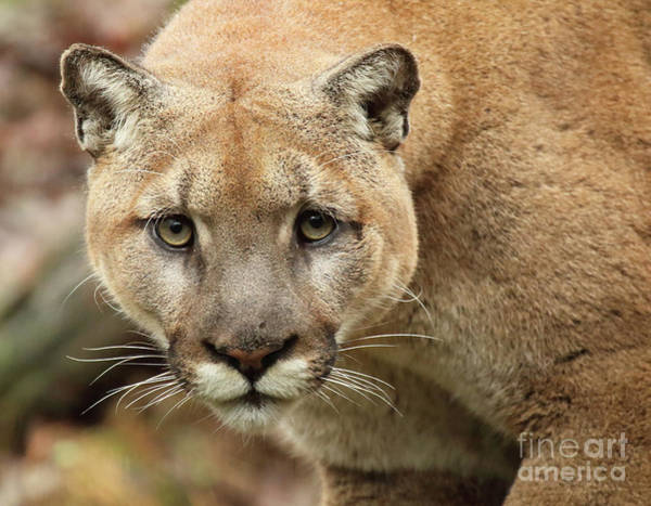 Wall Art - Photograph - Puma Male Approaching by Max Allen