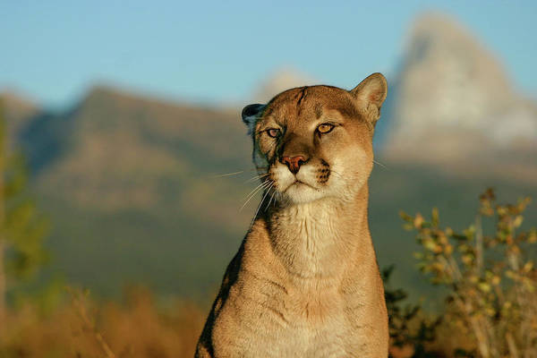 Photograph - Puma by Ronnie and Frances Howard