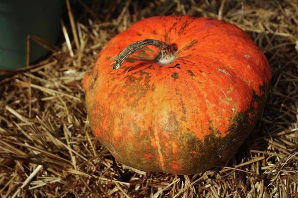 Photograph - Pumpkin Says Pick Me by Cynthia Guinn