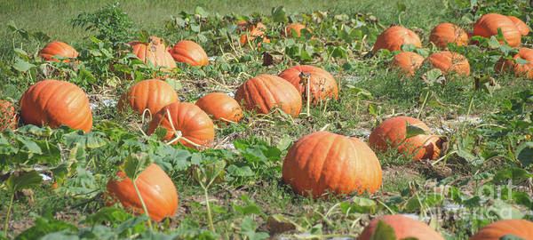 Photograph - Pumpkins 13 by Andrea Anderegg