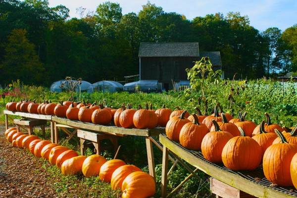 Photograph - Pumpkins At Holbrook Farm by Polly Castor