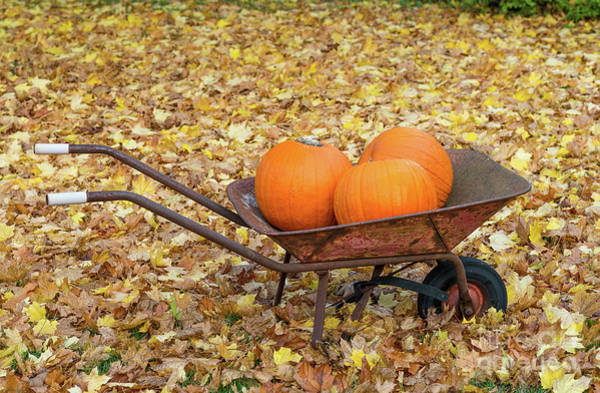 Photograph - Pumpkins In A Wheelbarrow by Les Palenik
