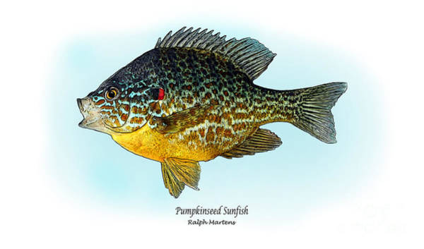 Angling Art Wall Art - Painting - Pumpkinseed Sunfish by Ralph Martens