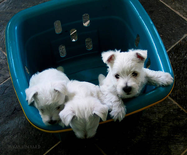 Photograph - Puppies In A Basket by Susan Vineyard