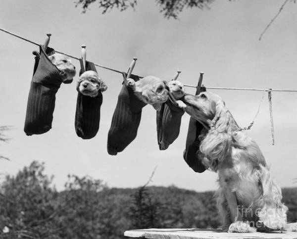 Photograph - Puppies On Clothesline, C.1950s by Debrocke and ClassicStock