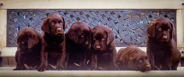 Photograph - Puppies by William T Templeton