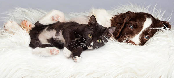 Springer Spaniel Photograph - Puppy And Kitten Laying On Furry Blanket by Susan Schmitz