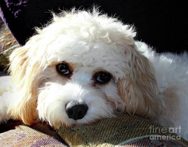 Photograph - Puppy Eyes by Karen Adams