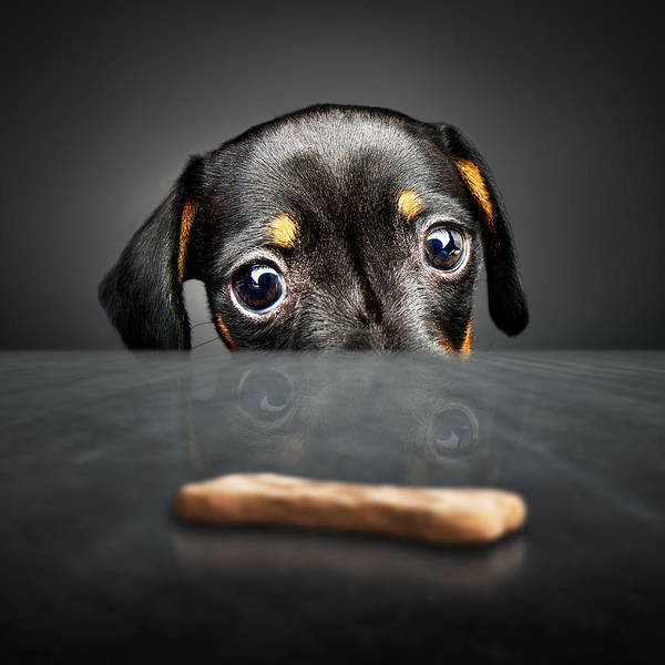 Table Photograph - Puppy Longing For A Treat by Johan Swanepoel