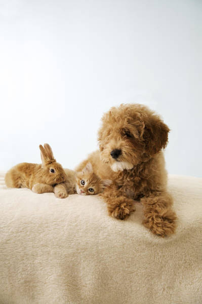 Puppies Photograph - Puppy Lying Down With Kitten And Bunny by Gillham Studios