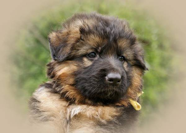 Photograph - Puppy Portrait II by Sandy Keeton