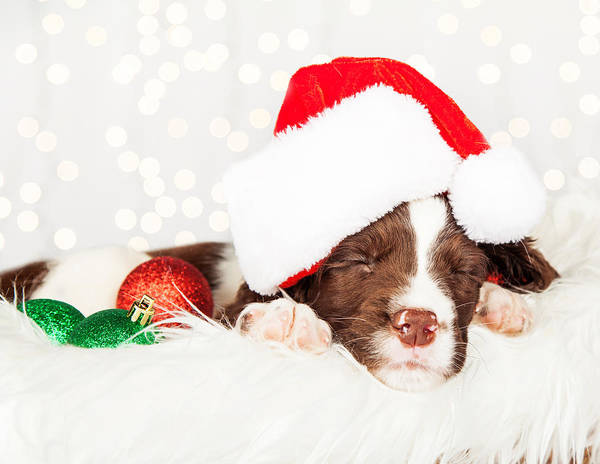 Bauble Wall Art - Photograph - Puppy Wearing Santa Hat While Napping On Fur At Home by Susan Schmitz