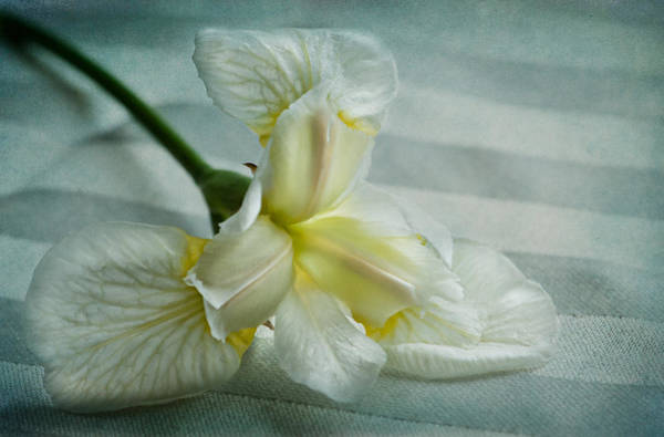 Iris Flower Photograph - Pure And Simple Pleasures by Maggie Terlecki