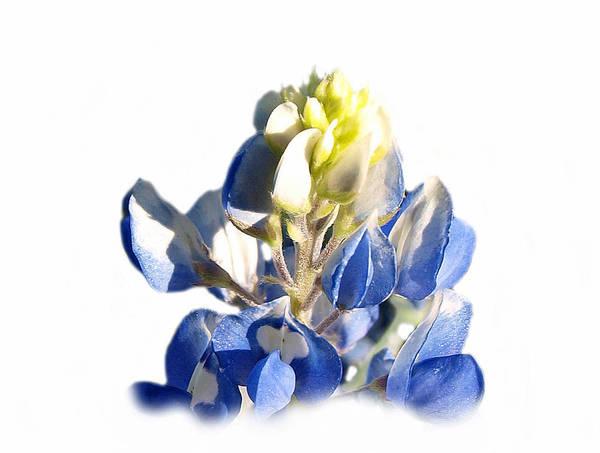 Photograph - Pure Blue Bonnet by James Granberry