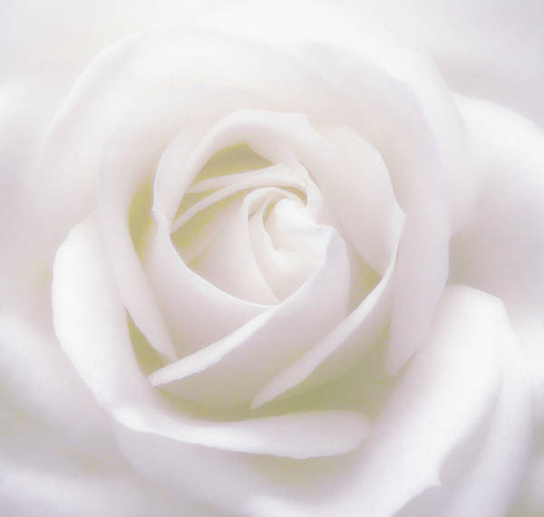 Photograph - Pure White by Johanna Hurmerinta