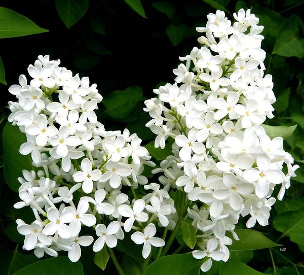 Flawless Photograph - Pure White Lilacs by Will Borden