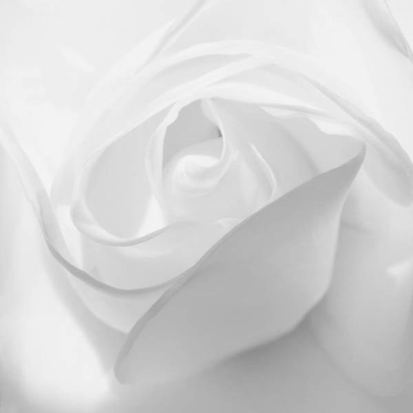 Photograph - Purity - White Rose by KJ Swan
