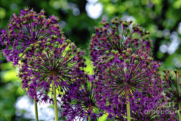 Mixed Media -  Purple Allium Hollandicum by Jolanta Anna Karolska