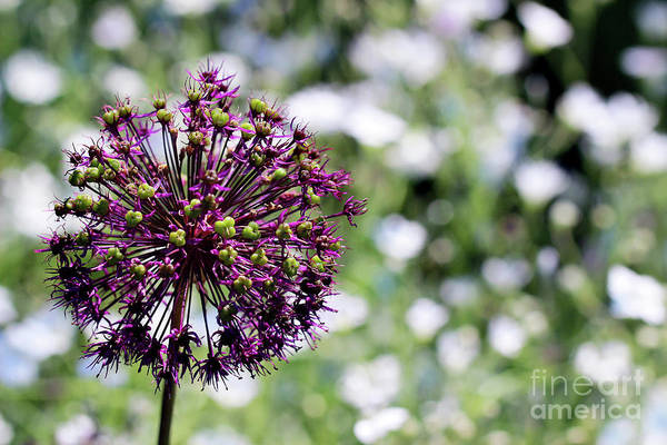 Photograph - Purple Allium by Karen Adams