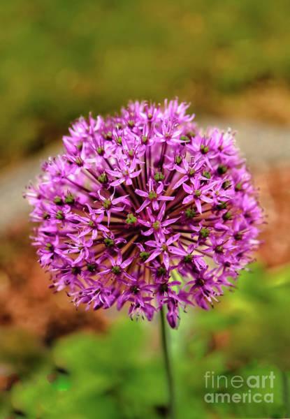 Wall Art - Photograph - Purple Allium  by Robert Bales