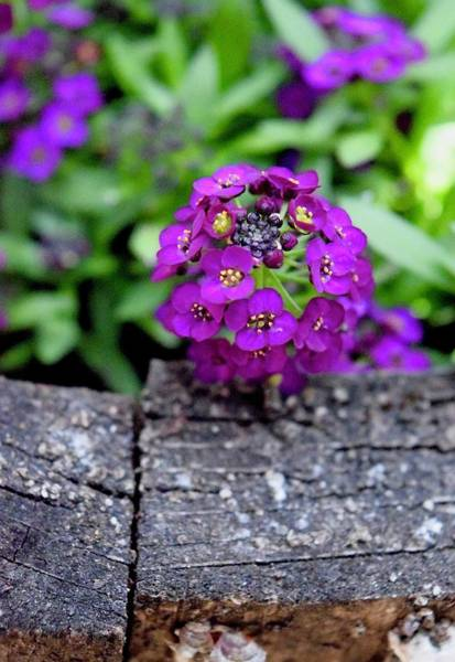Photograph - Purple Alyssum by Lynda Anne Williams