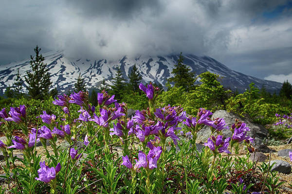 Photograph - Purple And Mount St. Helens by Marie Leslie