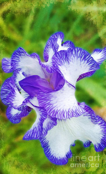Iris Flower Photograph - Purple And White Iris Bloom by Laura D Young