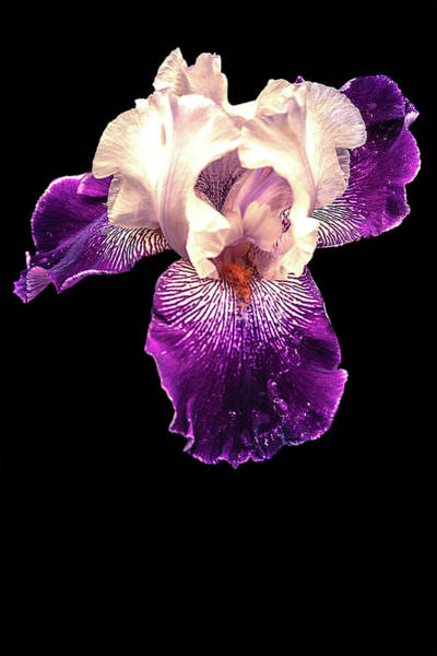 Photograph - Purple And White Iris by Mike Stephens