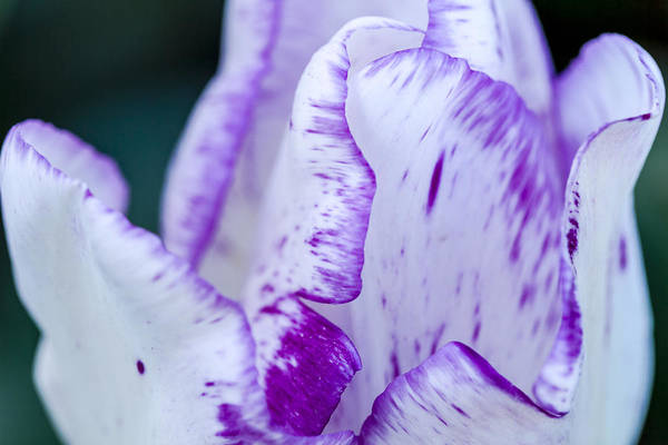 Photograph - Purple And White Tulip by Teri Virbickis