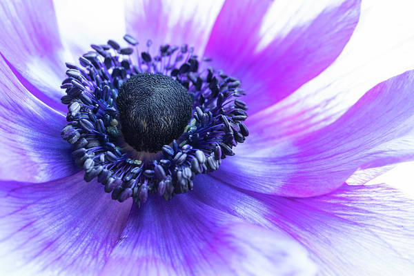 Photograph - Purple Anemone by Kristen Wilkinson