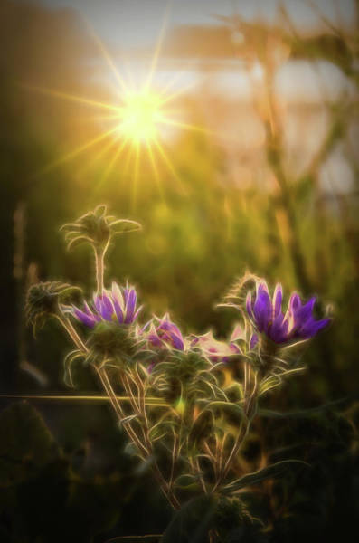 Photograph - Purple Aster Glow by Beth Sawickie