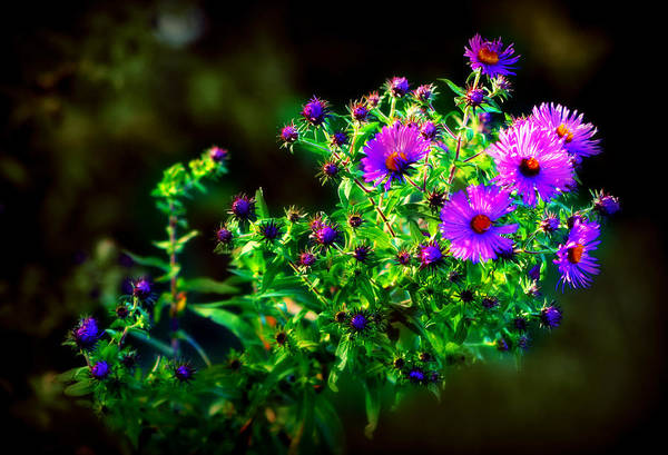 Photograph - Purple Asters by Susie Weaver