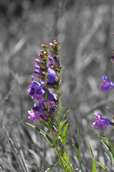 Photograph - Purple Beardstongue And Hayseed by Colleen Cornelius