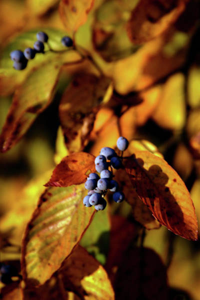 Photograph - Purple Berries In Autumn 6040 H_2 by Steven Ward