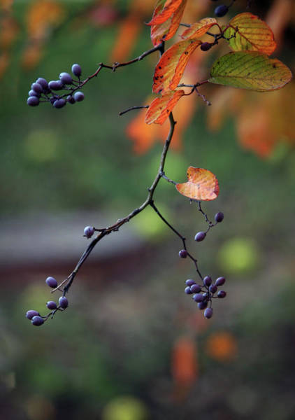Photograph - Purple Berries Of Autumn 6557 H_2 by Steven Ward