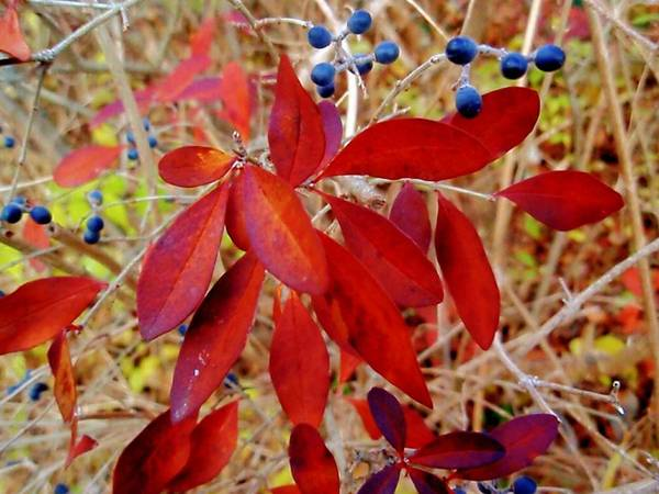 Photograph - Purple Berries With Leaves by Beth Akerman