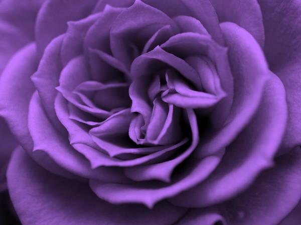 Purple Rose Digital Art - Purple Bliss by Teri Schuster
