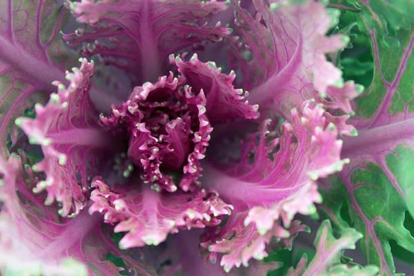 Wall Art - Photograph - Purple Cabbage by Joseph Skompski