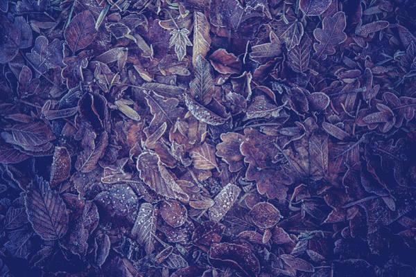 Photograph - Purple Carpet Of Frozen Leaves by Jenny Rainbow