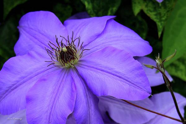 Callaway Gardens Wall Art - Photograph - Purple Charmer Clematis Flower Art by Reid Callaway