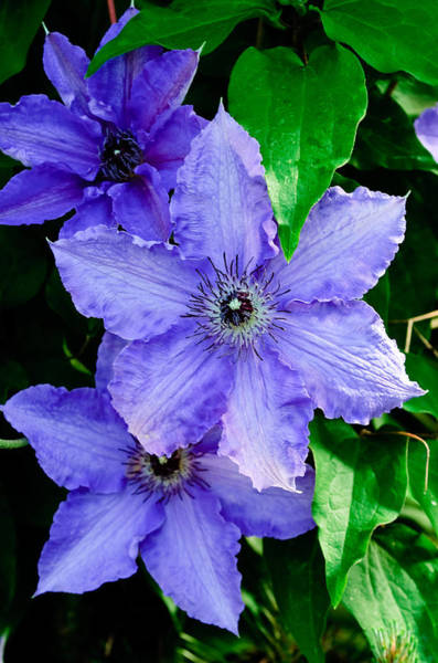 Photograph - Purple Clematis by Louis Dallara
