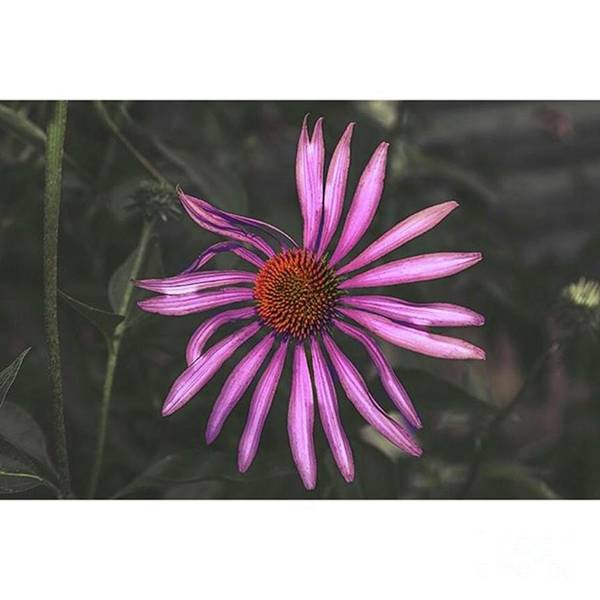 Macro Photograph - Purple Cone Flower Benton by Larry Braun