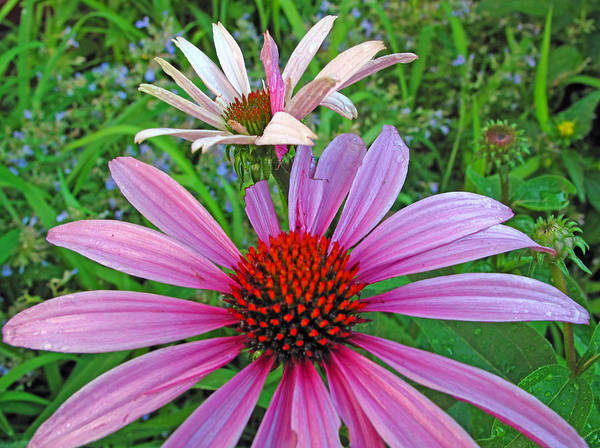 Wall Art - Photograph - Purple Coneflowers by Barbara McDevitt