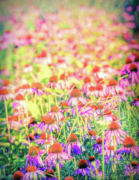 Photograph - Purple Coneflowers by Dan Sproul