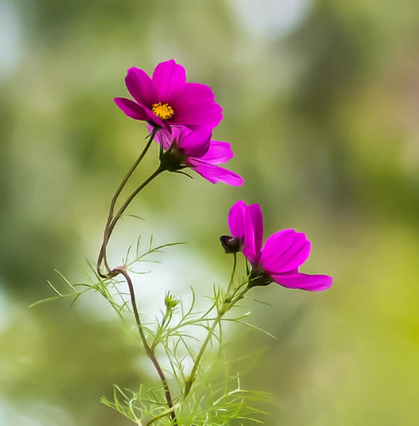 Photograph - Purple Cosmos Flowers Square by Terry DeLuco