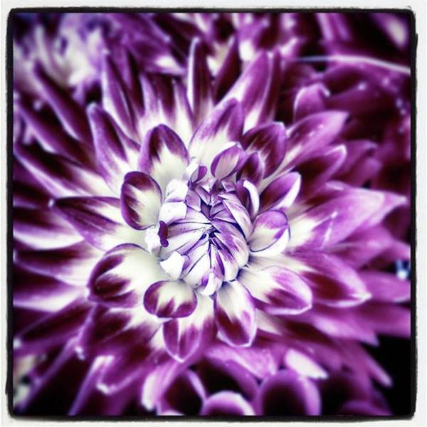 Photograph - Purple Dahlia. A Color Variation Of The by Mr Photojimsf